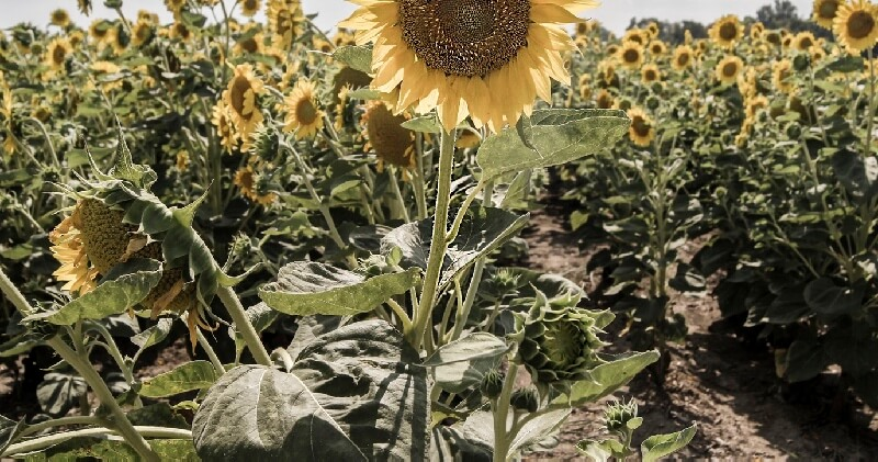 sunflowers what to plant in houston this spring