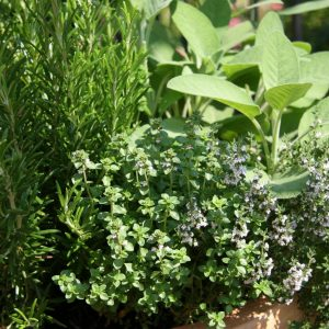 Garden Herbs Perfect for Houston   What to Plant in Houston this Spring   Blog Post about Plants Perfect for Texas Weather