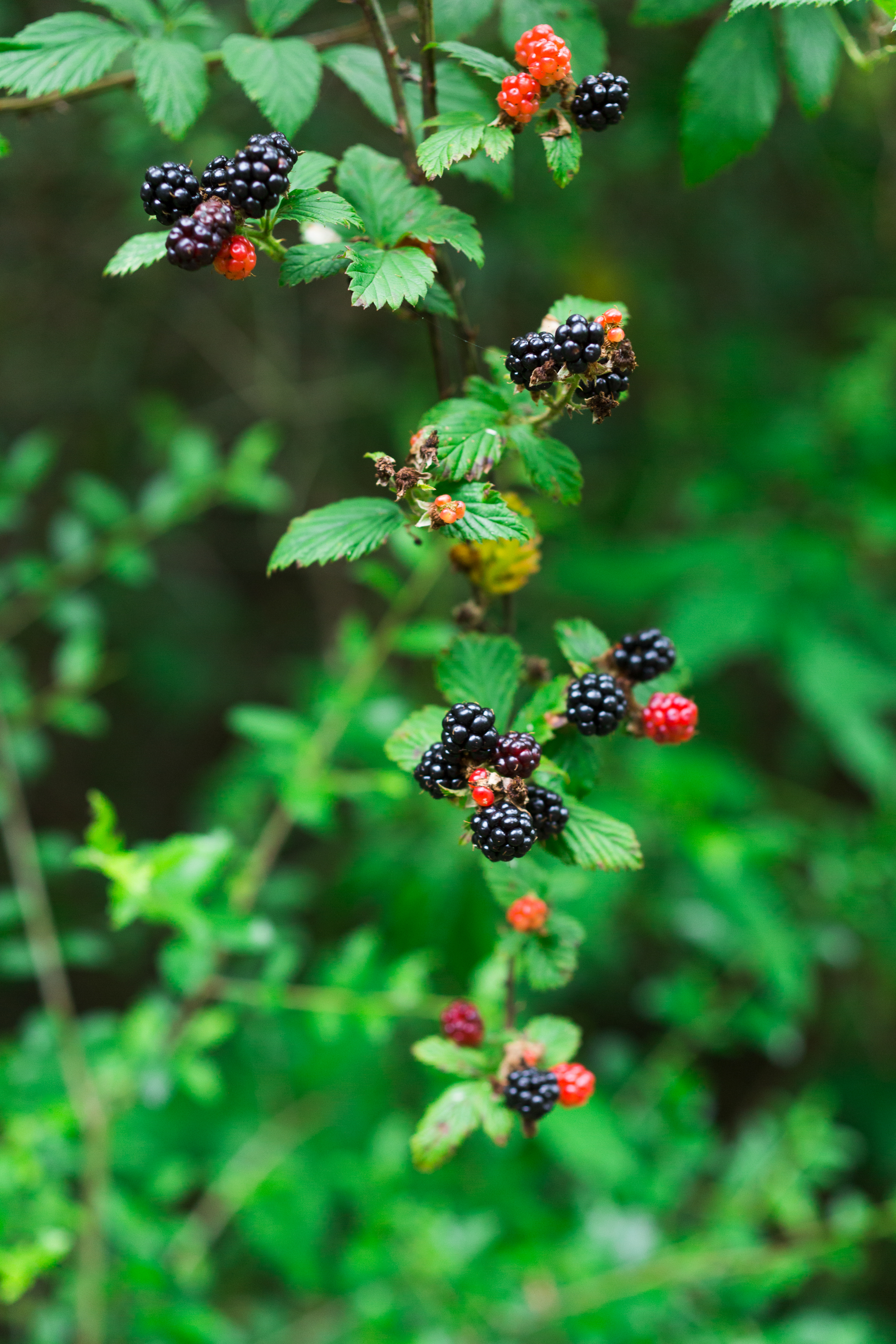 how and where to pick dewberries wild blackberries berry picking texas