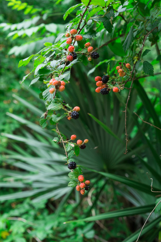 red and black dewberries pick berries wild blackberries texas