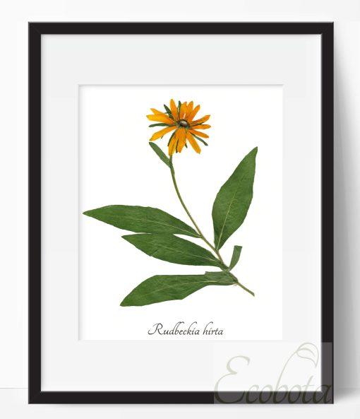 black-eye-susan-herbarium-print-handmade-art