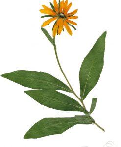 black-eyed-susan-botanical-print-pressed-flower-print