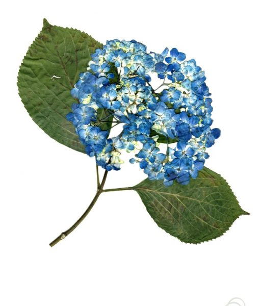 blue-hydrangea-print-pressed-flower-print_small