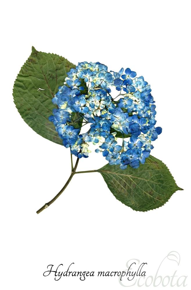 blue-hydrangea-print-pressed-flower-print_small