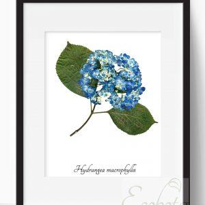 blue-hydrangea-art-print-pop-shop-america