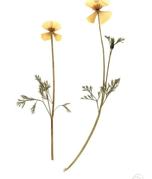 california-poppy-botanical-art-print-small
