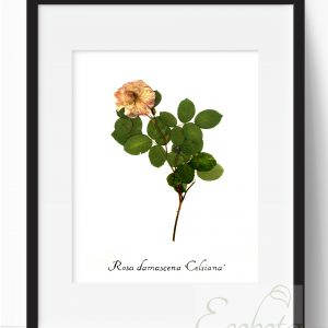 damask-rose-herbarium-botanical-print