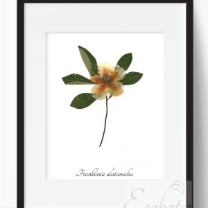 franklinia-botanical-pressed-flower-print-pop-shop-america