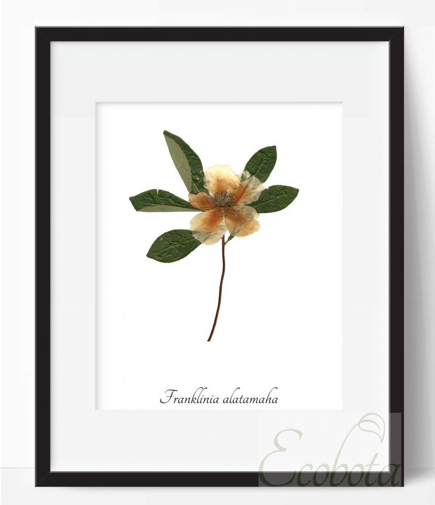 Franklinia Botanical Pressed Flower Print