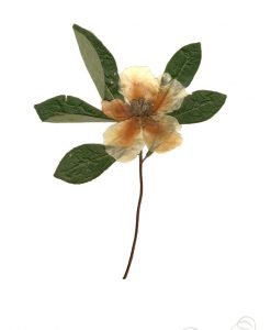 franklinia-art-print-herbarium-botanical-prints-pop-shop-america-handmade_small
