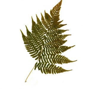 pressed-fern-art-print-fern-botanical-print-by-ecobota_small