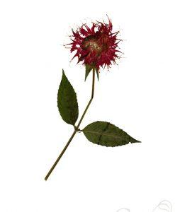 bee-balm-pressed-flower-art-print-pop-shop-america