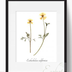 botanical-print-california-poppy-art-print-by-ecobota