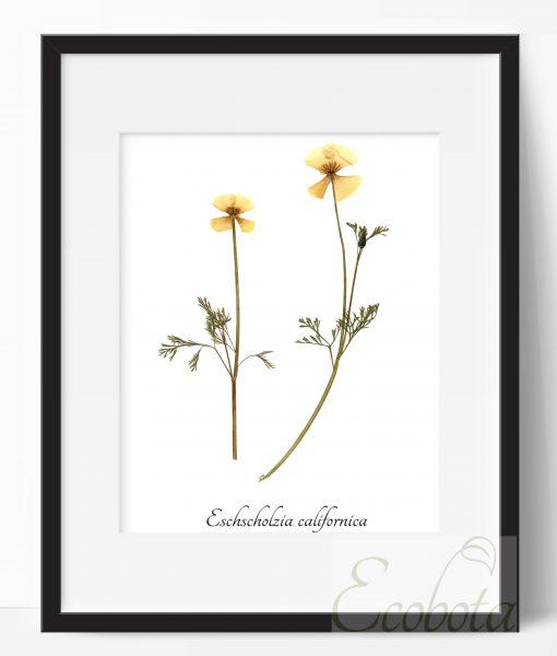 botanical-print-california-poppy-art-print-by-ecobota