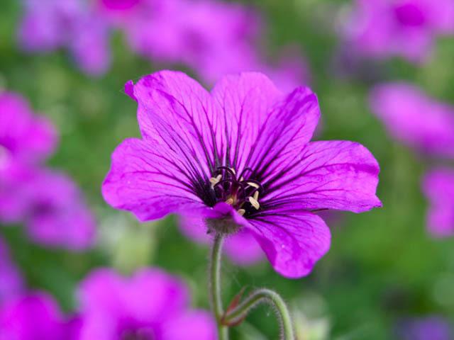 geranium flower essential oil uses pop shop america
