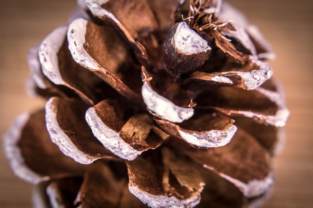 close-up-of-pine-cone-pop-shop-america_web
