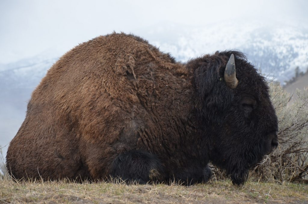 buffalo-yellowstone-montana-pop-shop-america