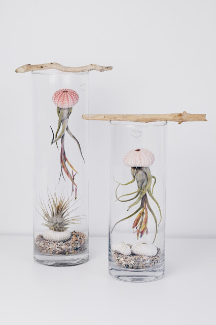 Airplant Tillandsia Care Pflege Tillandsien17