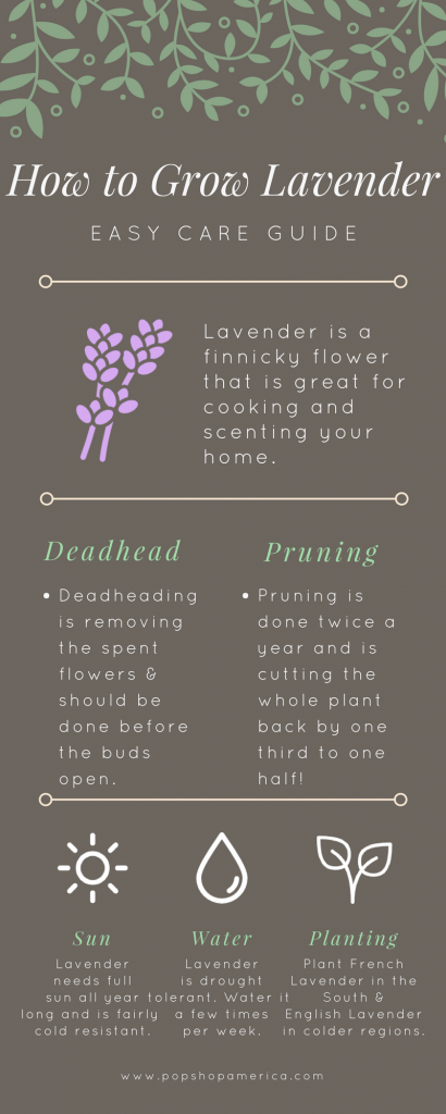 How to Grow Lavender Infographic Easy Care Gardening