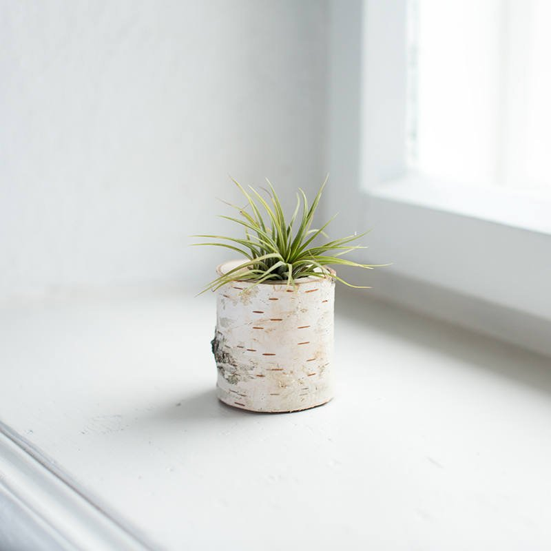birch air plant vessel - terrarium idea by pop shop america