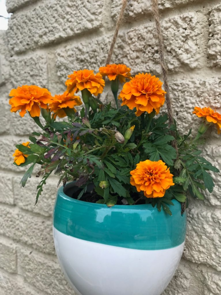 deadhead-marigolds-how-to-gardening-tips-pop-shop-america