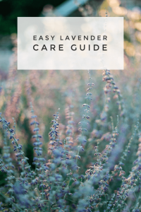 how to grow lavender garden guide pop shop america