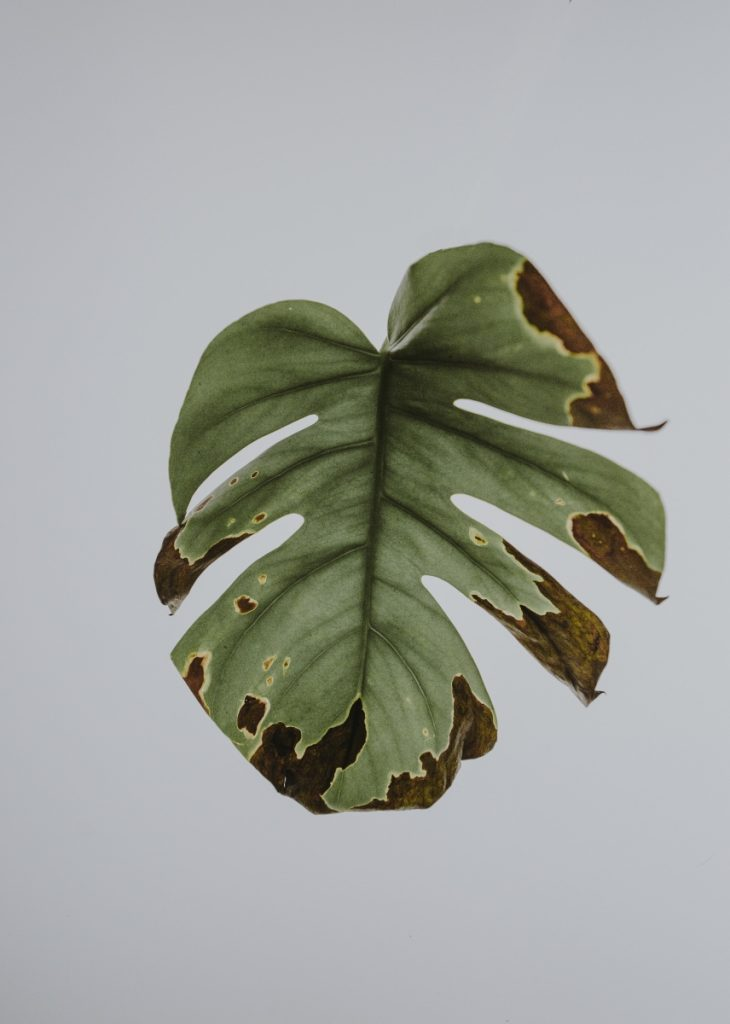 free monstera leaf pressed art pop shop america