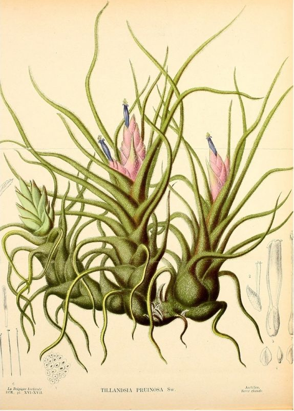 air plant illustration tillandsia 3 detail