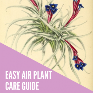 easy air plant care guide title pop shop america
