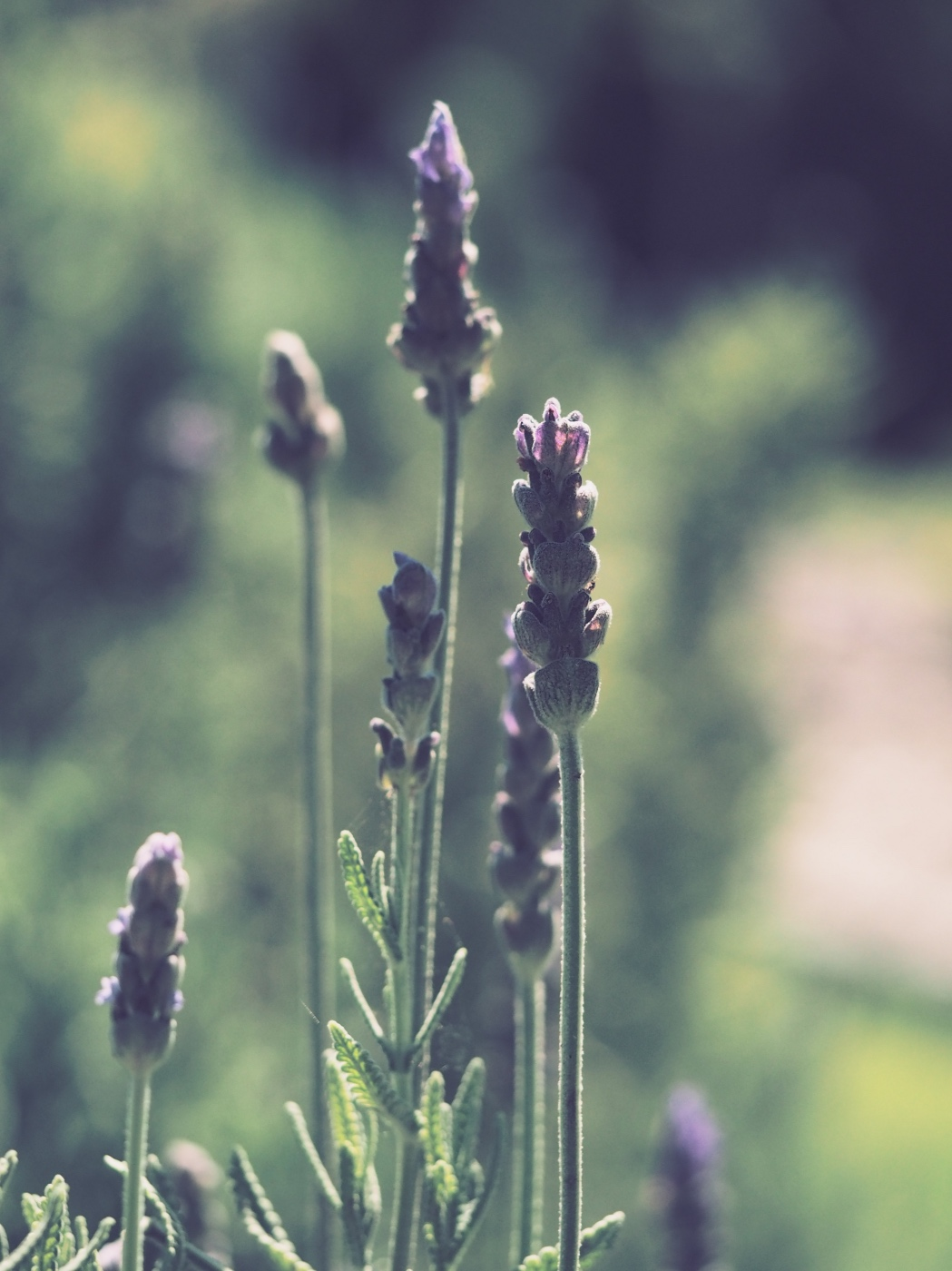 detail of how to grow lavender from seeds herb growing tutorial