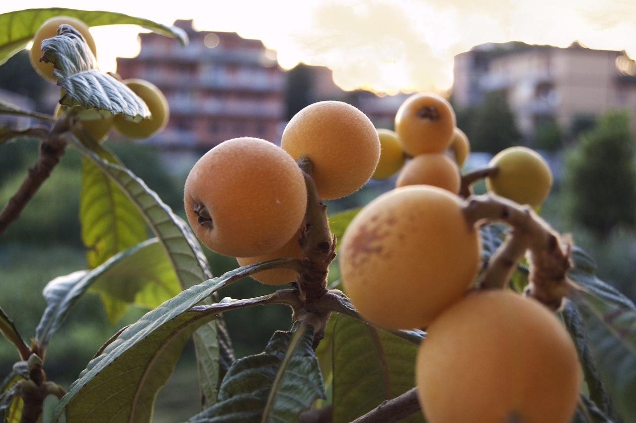 close up detail of ripe loquats pop shop america