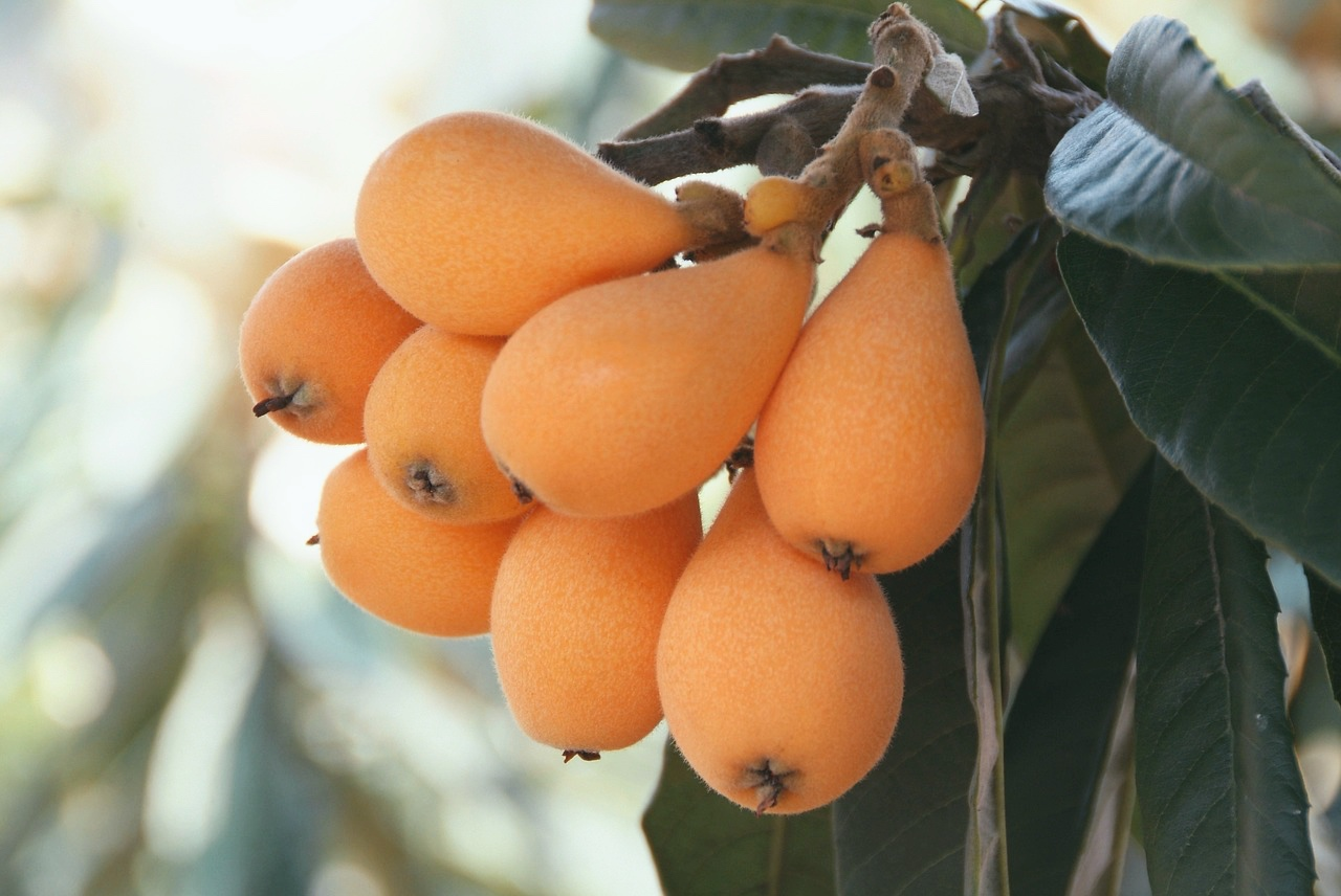 how to grow loquats nutritional info loquats pop shop america