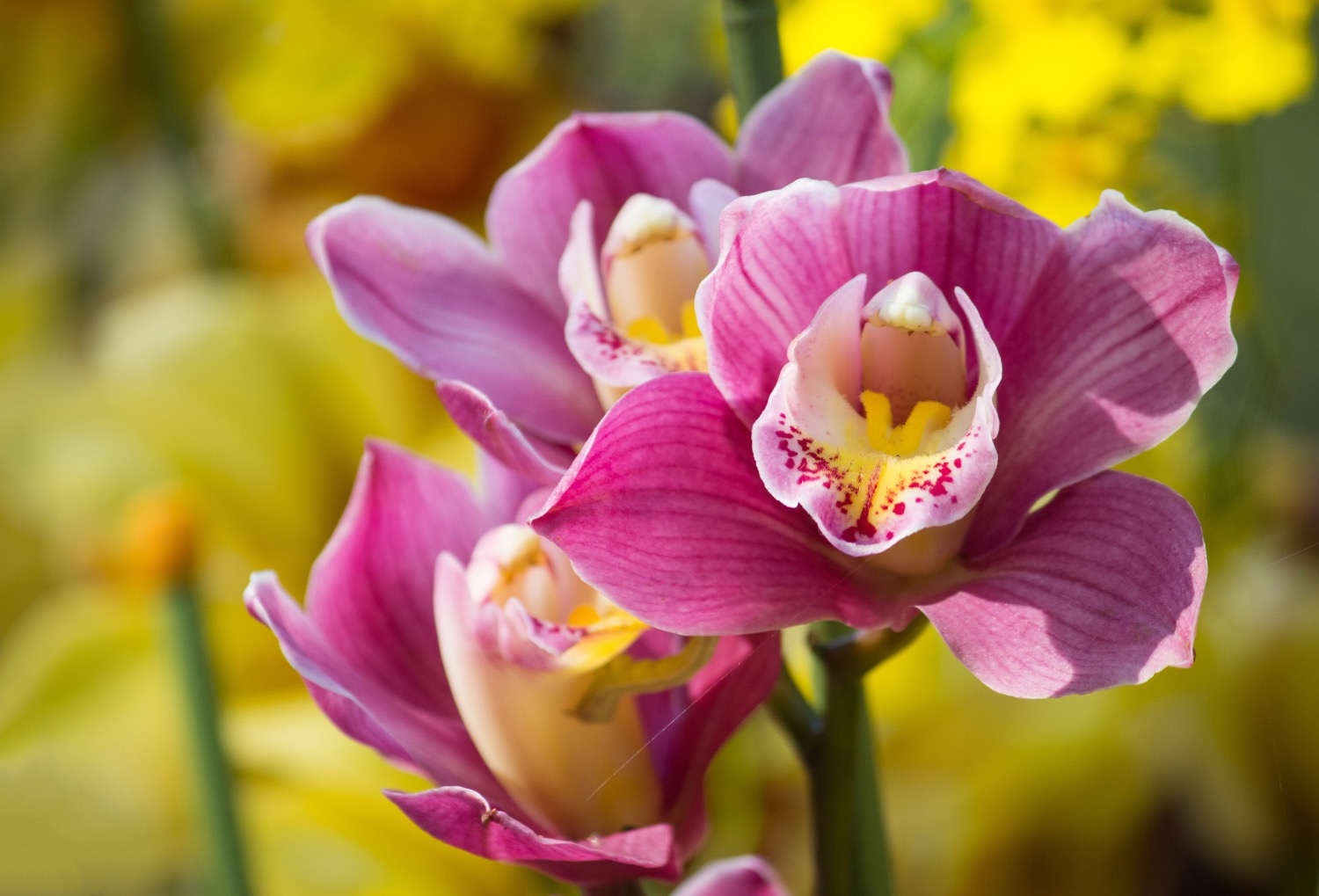 Cybidium Orchid how to care for orchids guide