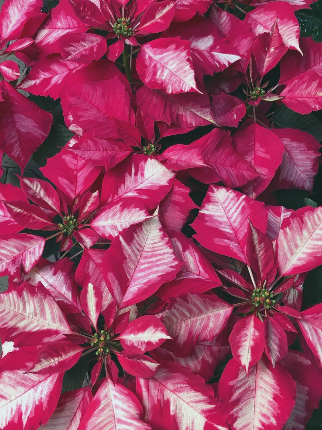 poinsettia care guide by pop shop america gardening tips
