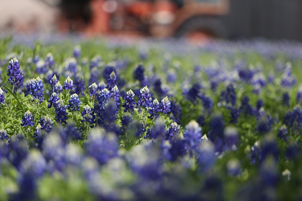 how to grow texas bluebonnets gardening tutorial pop shop america