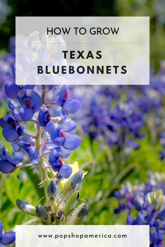 how to grow texas bluebonnets pop shop america