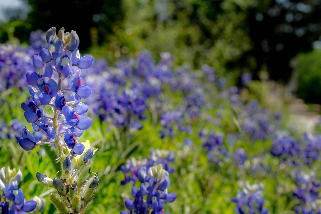 how to plant and grow bluebonnets gardening pop shop america