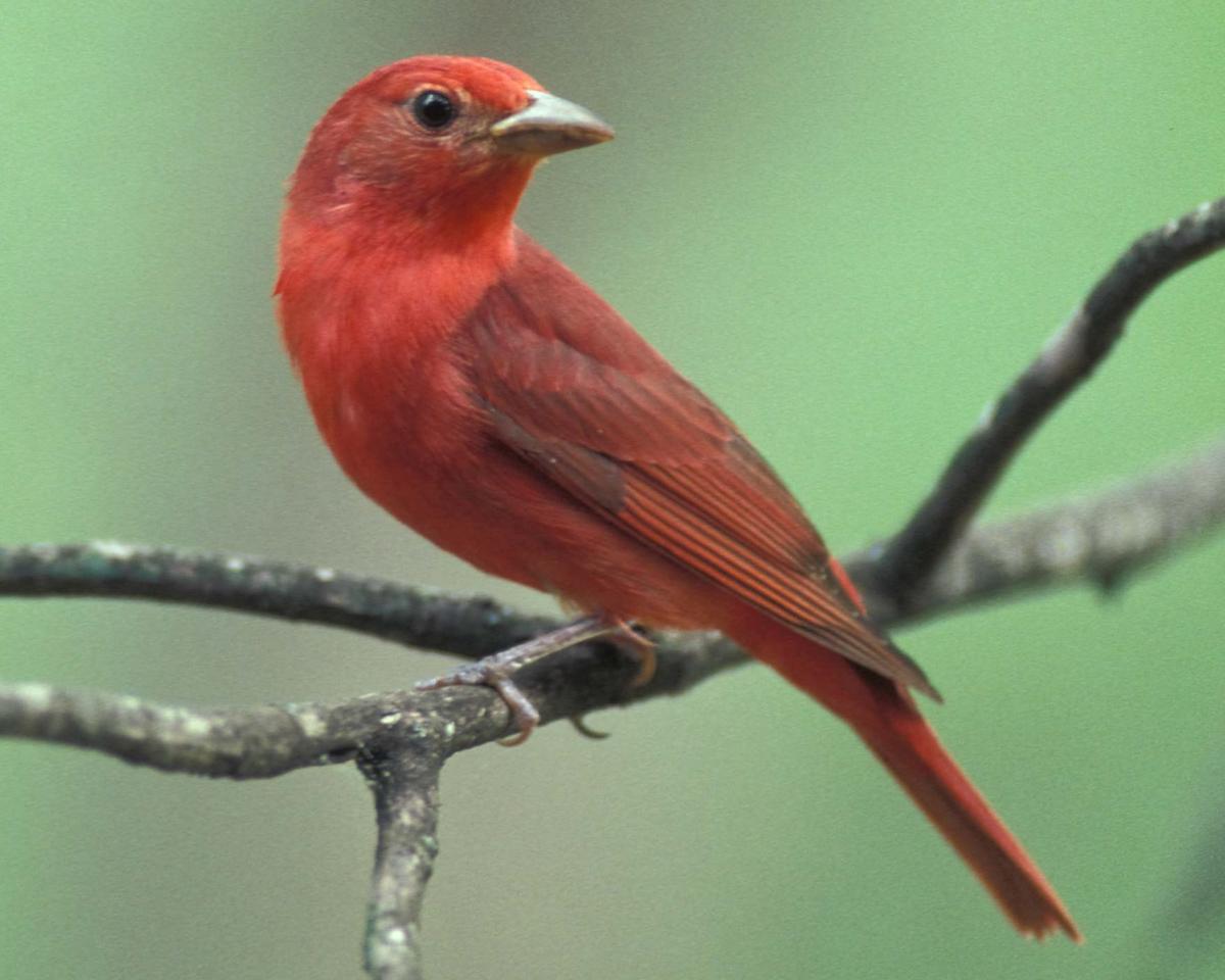 Summer_Tanager_male_backyard_songbird_north_american_feeder_birdseed_instructions_birdfeeder_pop_shop_america