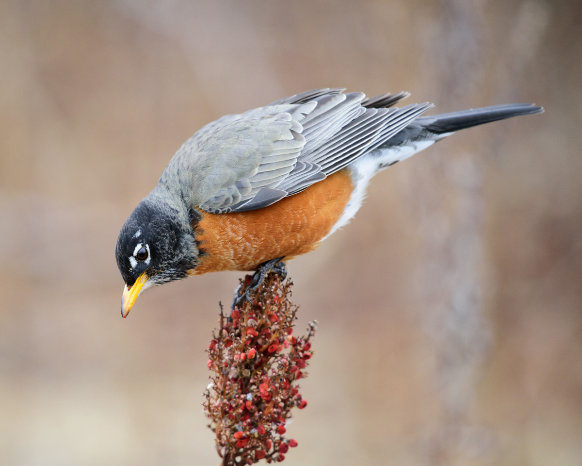 american_robin_redbreast_attracting_birds_birdseed_pop_shop_america_blog