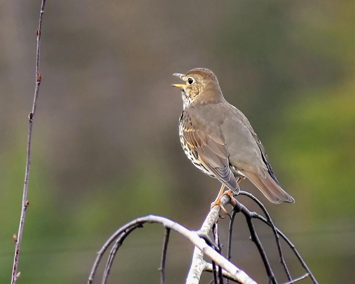 hermit_thrush_bird_singing_lovely_songbird_feeding_attracting_birdseed_pop_shop_america