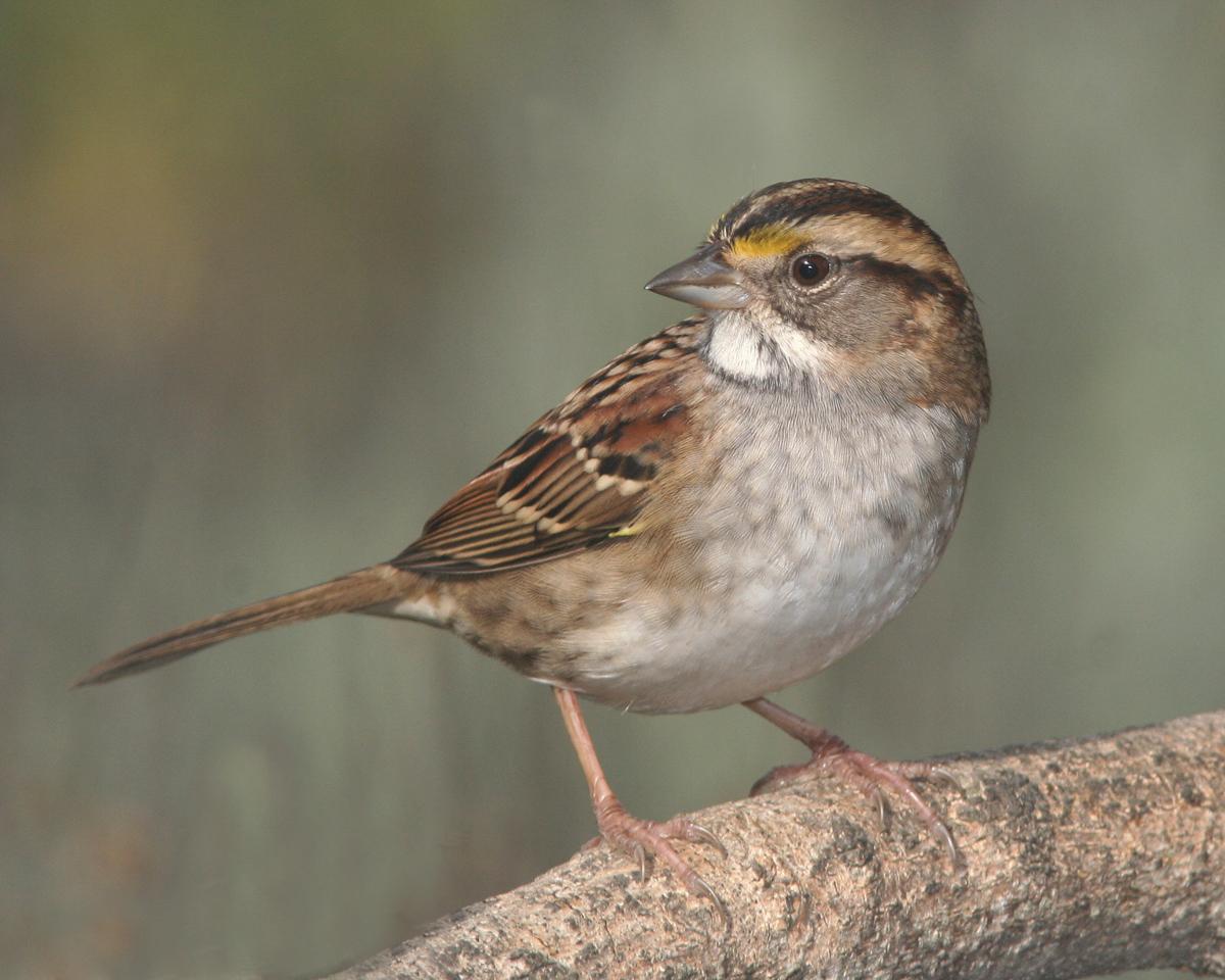 small_brown_bird_finch_songbird_north_american_feeding_seed_pop_shop_america
