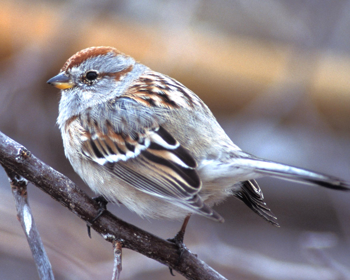 songbird_bird_feeder_pop_shop_america_american_tree_sparrow