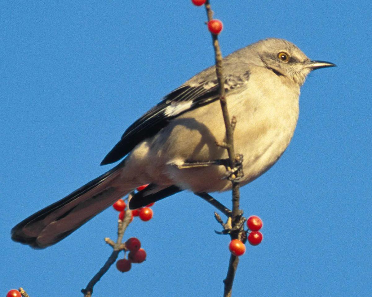 texas_statebird_mockingbird_songbird_pop_shop_america_blog_crafting_birdfeeder_kit