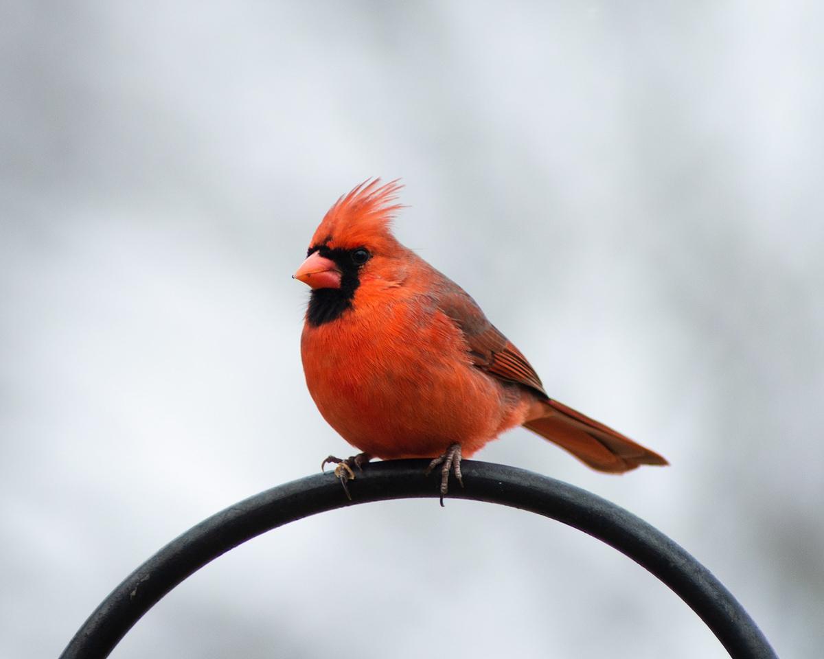 winter_cardinal_north_american_bird_red_bird_feeder_intruction_pop_shop_america