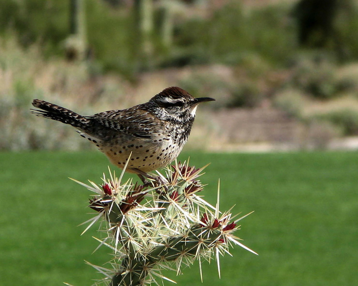 wren_cactus_spotted_birdwatching_backyard_attracting_birds_bird_feeder_pop_shop_america