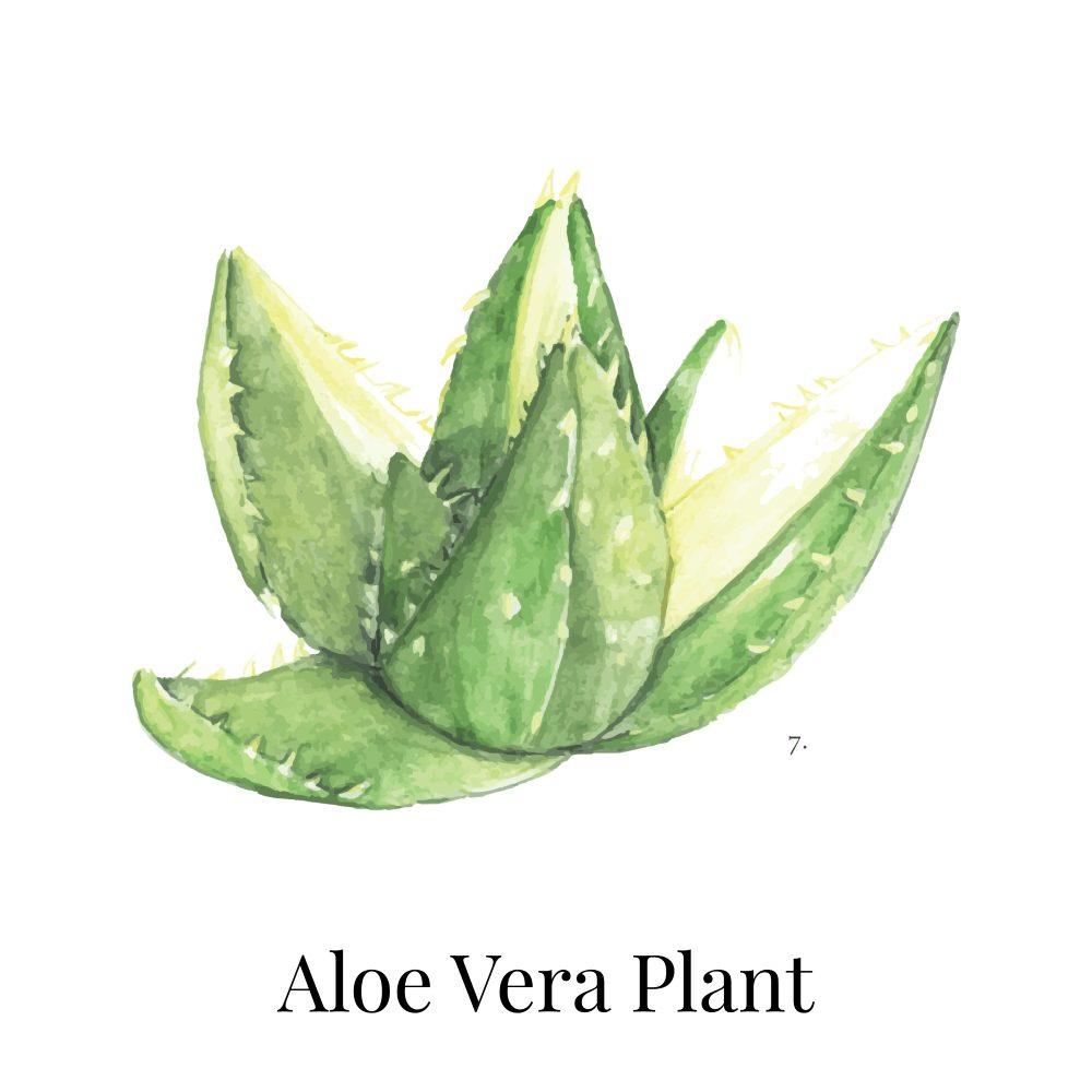 Aloe Vera Indoor House Plant 1