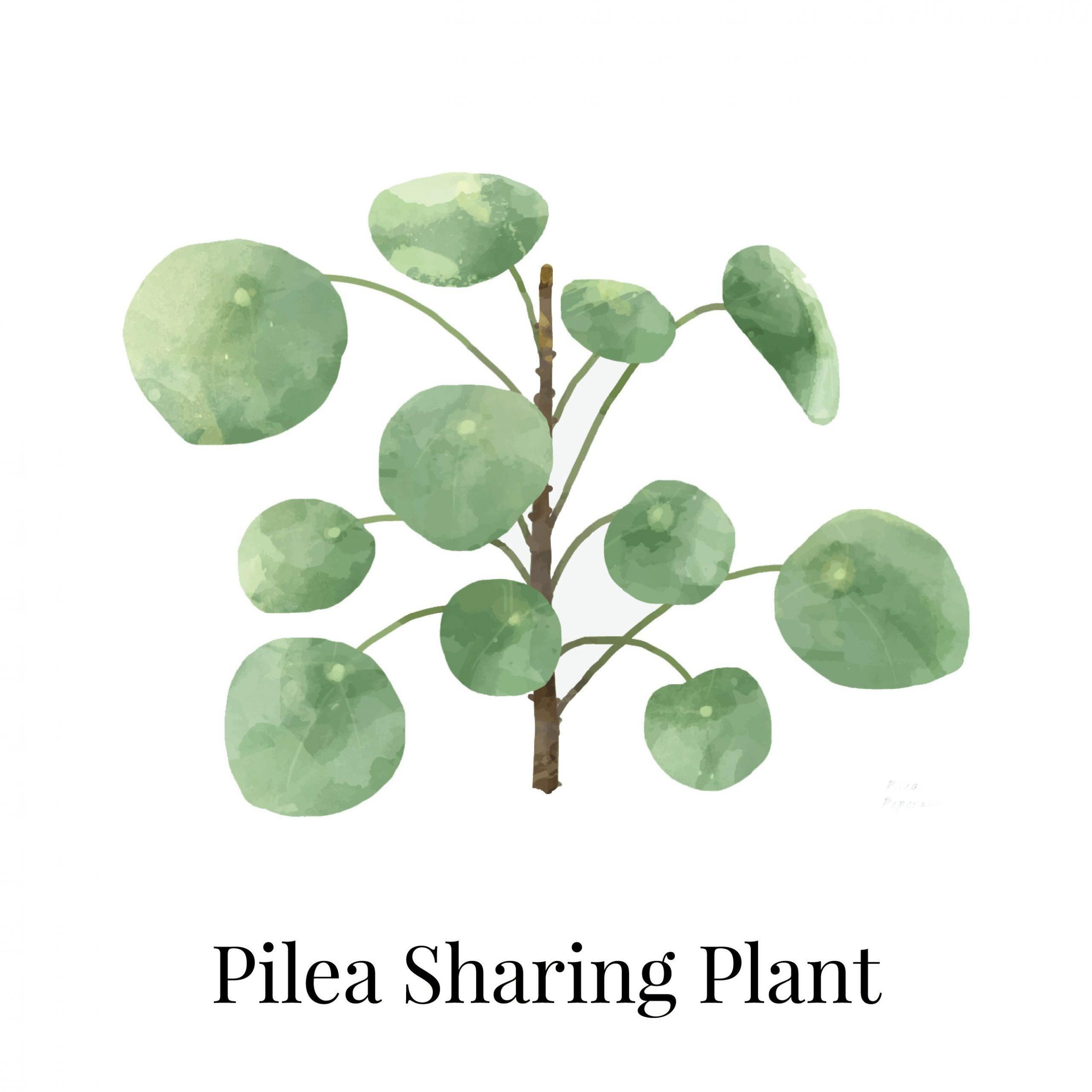 Pilea Sharing House Plant