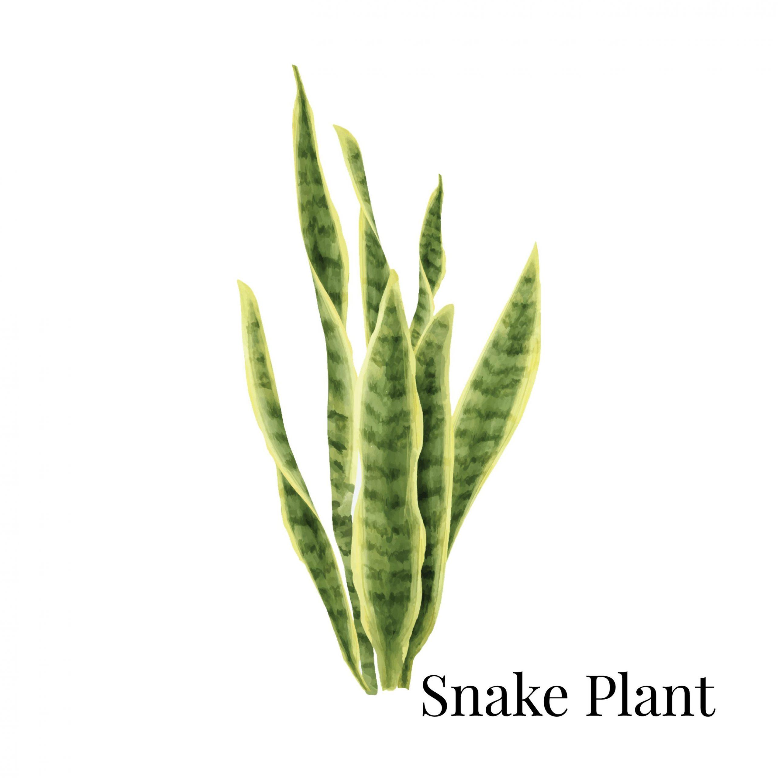 Snake Plant House Plant