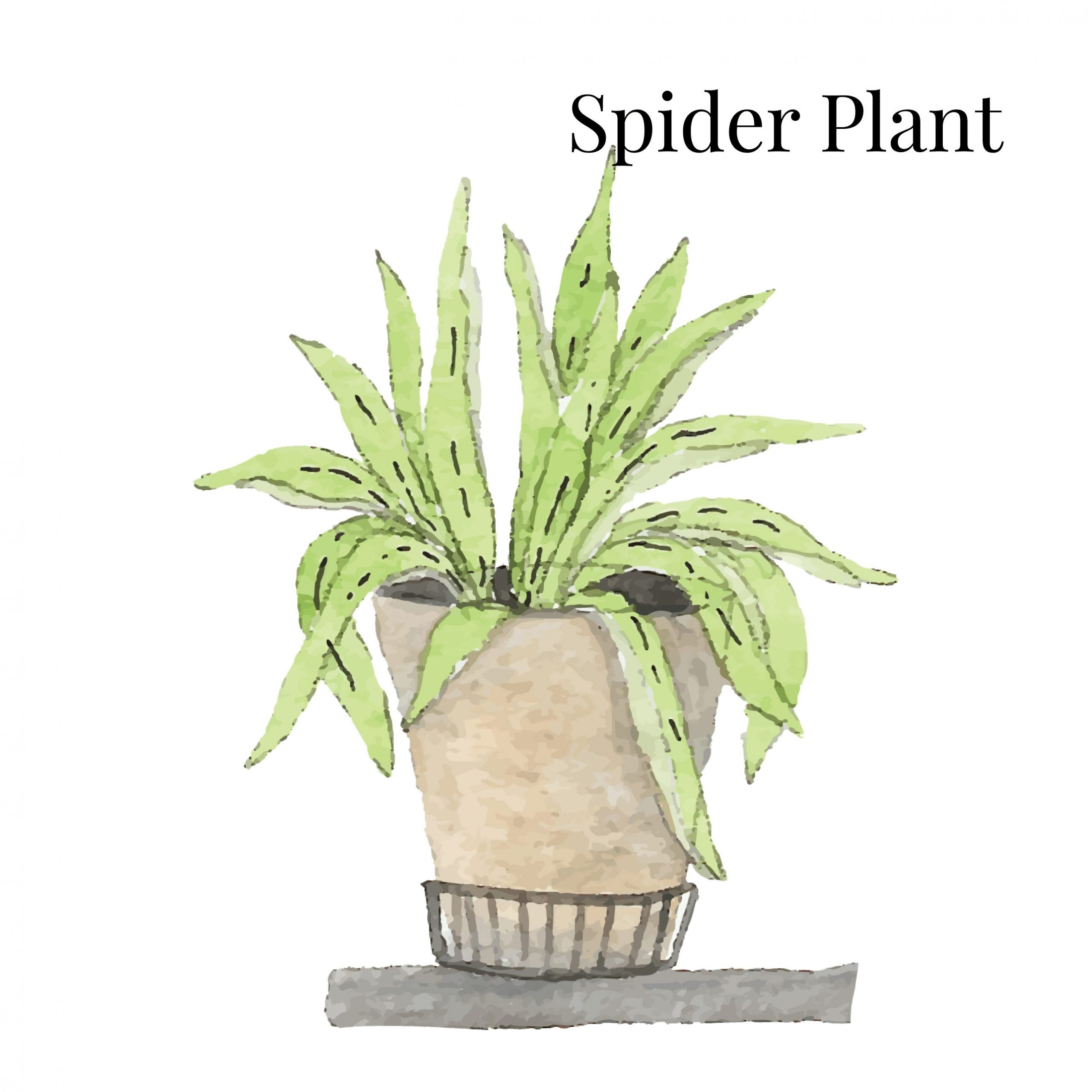 Spider Plant Indoor House Plant
