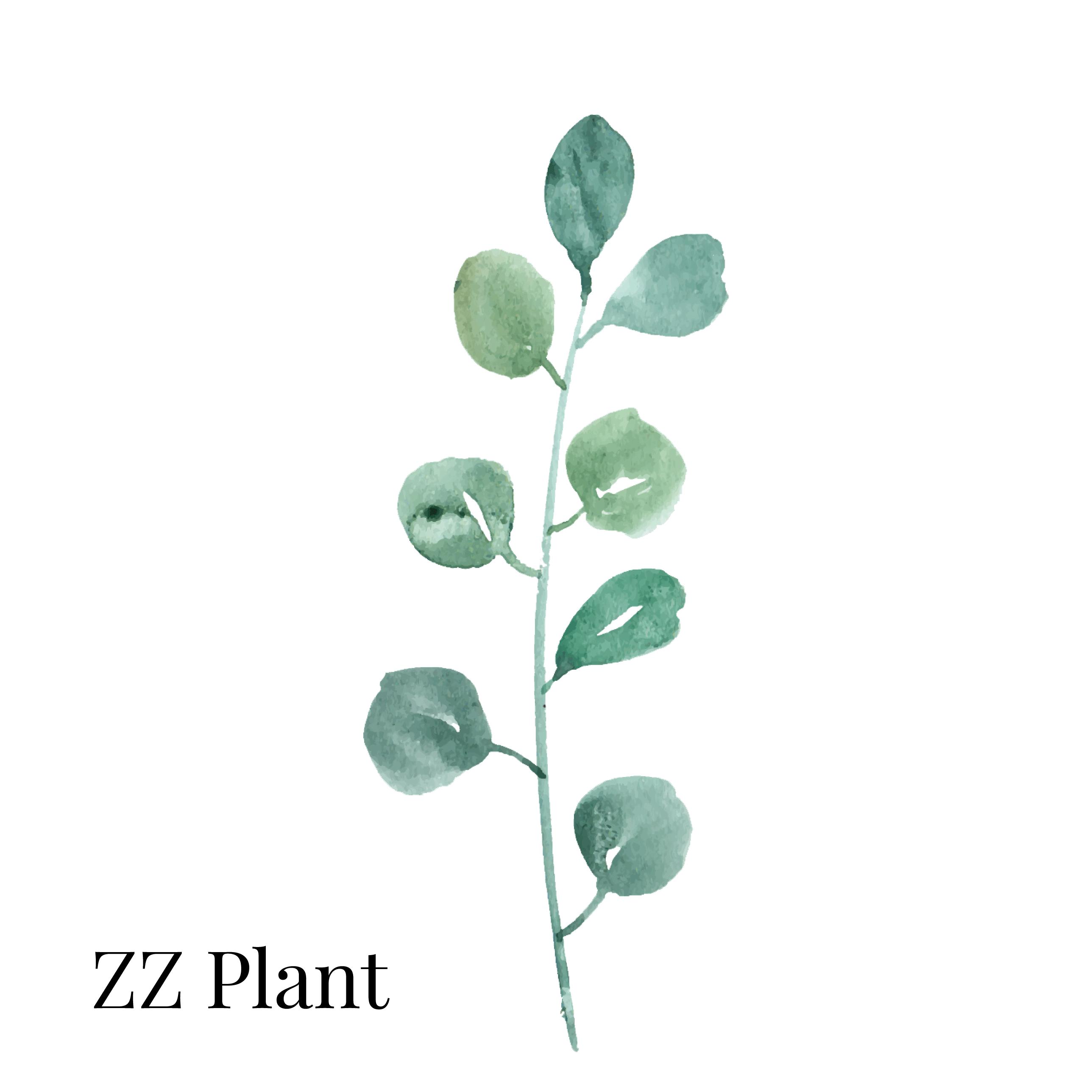 ZZ Plant Indoor House Plant